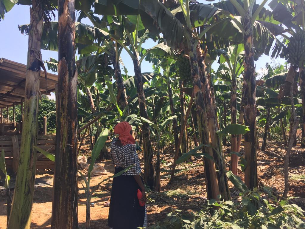 Blog 5 Rose in her new banana garden